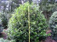 Prunus lau. 'Hollandia' 200-250 x200-250