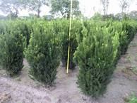 Taxus media Hillii 3xv mB 70-80-100