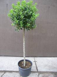 abaka rhodowiesmoor ihr spezialist f r rhododendron ilex. Black Bedroom Furniture Sets. Home Design Ideas